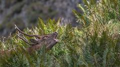 Der alte Berghirsch (wsprecher) Tags: rheintal rotwild rothirsch brunft hirschbrunft hirsch wildlife wsnaturpic