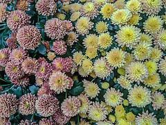 Fall Mums (jolynne_martinez) Tags: kansascity mo unitedstatesofamerica chrysanthemum chrysanthemums mum mums flower flowers flowering fall season seasonal autumn pink red yellow outside googlepixel