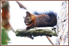 Ecureuil perché 191005-01-P (paul.vetter) Tags: écureuil sciuridé rongeur mammifère squirrel ardilla eichhörnchen
