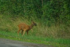 Rencontre furtive au bord de la route (joëlroselier) Tags: chevreuil gibier mammifère animal sauvage