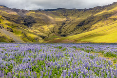 The Purple Fields of Iceland (PIERRE LECLERC PHOTO) Tags: iceland southoficeland flowers nature landscape photography wallart prints download photooftheday icelandicadventure exploreiceland pierreleclercphotography
