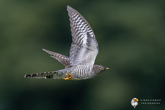 Cuckoo (Simon Stobart) Tags: cuckoo juv cuculus canorus flying north east england uk naturethroughthelens