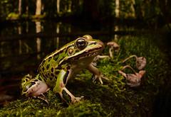 Northern Leopard Frog (Lithobates pipiens) copy (Alex Roukis) Tags: herpetology fieldherping centralnewyork upstate herp frog frogsofnewyork alexroukis nature naturalist wildlife northernleopardfrog lithobatespipiens syracuse