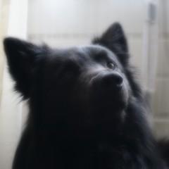 Totoro 🐺 (Jos Mecklenfeld) Tags: hond dog hollandseherder dutchshepherd totoro