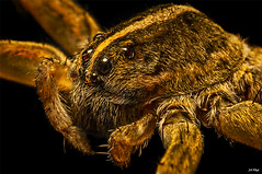 Is This My Good Side? (maspick) Tags: insect bug wolfspider arachnid hairy macro
