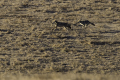 Morning Chase (Lisa Roeder) Tags: coyote coyotebehavior wildlife wildlifephotography