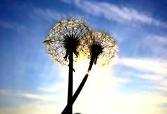 iph8059 (gzammarchi) Tags: italia natura campagna ravenna borgomontone fiore piumino coppia