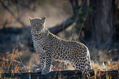 Little Leopard (Glatz Nature Photography) Tags: africa botswana glatznaturephotography khwaicamp nature nikond850 wildanimal wildlife leopard leopardcub pantherapardus eyecontact forest okavangodelta animal mammal bigcats