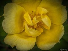 Yellow Petals (jiroseM43) Tags: flowers petals nature macro 60mm olympus em1markii m43
