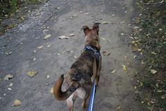 Morning Visit with Runyon to County Farm Park (Ann Arbor, Michigan) - October 5th, 2019 (cseeman) Tags: countyfarmpark countyfarm annarbor washtenawcounty forest parks countyparks washtenawcountyparks trails path trees green summer michigan countyfarmpark10052019 morning quiet dogs pets runyon10052019 puppy puppies dog dogbranddog mixedbreed brown young rescuedogs catahoula catahoulamix catahoulaleopardmix