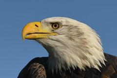 Bald Eagle portrait (robin elliott photography) Tags: baldeagle eagle bird birds birdofprey birdsofprey outside outdoors nikon nikond850 sigma sigma300mm28