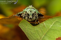 Merveille du Jour (Griposia aprilina) (gcampbellphoto) Tags: merveille du jour griposia aprilina insect macro moth nature wildlife woodland oakwood gcampbellphoto north antrim
