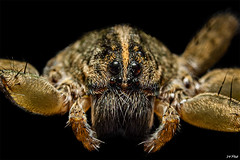 Give Us A Kiss (maspick) Tags: insect bug wolfspider arachnid hairy macro