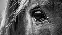 Horse black and white close up (bdg-photography) Tags: black white blackandwhite outside nature natur horse horses animal animals eye eyes hair hairs manes punch contrast close up closeup telelens tele intens