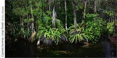 Cypress Swamp, Loop Road (jwvraets) Tags: florida evergladesnationalpark jungle ferns cypressswamp water opensource hugin rawtherapee gimp nikon d7100 afsdxnikkor18105mmvr