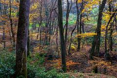 Autumn colors (FVillalpando) Tags: autumn trees forest colours ngysa landscape