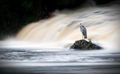 Long exposure Heron and weir. (mond.raymond1904) Tags: heron weir long exposure dodder dublin