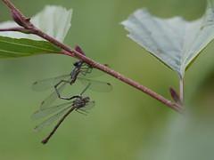 akrobatisch (1elf12) Tags: libelle dragonfly germany heide deutschland hankensbüttel otterzentrum insekt insect