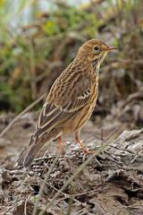 meadow pipit (DODO 1959) Tags: wildlife meadowpipit birds avian animal outdoor fauna nature canon 100400mmmk2 7dmk2 carmarthenshire wales llanelli wwt goodhallhide dafenscrapes