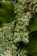 Merveille du Jour (Griposia aprilina) (gcampbellphoto) Tags: insect du jour merveille aprilina griposia macro nature woodland wildlife north moth oakwood antrim gcampbellphoto
