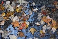 Rainy days (thomasgorman1) Tags: water wet leaves rain rainwater ground nikon cycle autumn october berlin germany deciduous puddle sidewalk artistic