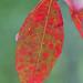 autumn red 2