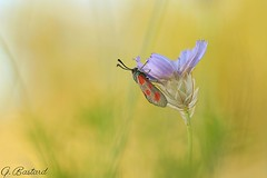 zzzzgène! (Gaël B) Tags: bokehlicious bokeh zygène zygaena papillon farfalle butterfly nature natür insecte insekt bug macro makro proxy