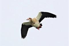 Egyptian Goose by air in Holland. (capelleaandenijssel) Tags: goose bird birds birdspotter nature fauna netherlands nl