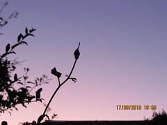 Rose bud (daveandlyn1) Tags: dof depthoffield sunset rosebud silhouette mygarden pralx1 p8lite2017 huaweip8 smartphone psdigitalcamera cameraphone