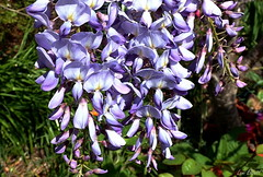 It's Raining Purple (Lani Elliott) Tags: homegarden garden wisteria mauve purple flowers flower colour colourful pretty light bright blossoms wisteriavine purpleflowers mauveflowers