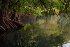 MAGICAL. (NIKONIANO) Tags: magical mágico méxico lago ellagodecamécuaro sony árbol árboles agua water leau river lake sunrise morning nature surreal tangancícuaro regiónzamora lugaresdemichoacán enmichoacán enméxico green verde vert ahuehuete sabino sabinos