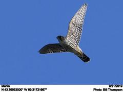 Merlin (Bill.Thompson) Tags: merlin falcocolumbarius monheganisland me birds