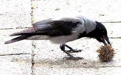 Magpie (thomasgorman1) Tags: