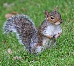 Lovely squirrel in Pannett Park (Andreadm66) Tags: animal yorkshire pannettpark nature wildlife greysquirrel squirrel