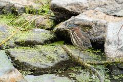 166215 - Héron Vert - Green Heron - Crop (xVanHovenx) Tags: héron heron héronvert greenheron parcdelafrayère boucherville nature animal oiseau bird sonya7iii sigmamc11 sigma150600mmcontemporary ilce7m3