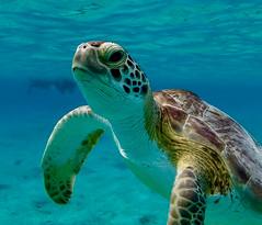 Nice to meet you..... (rienschrier) Tags: natuur nature closeup bonaire turtel snorkelen duiken gopro schildpad
