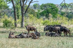 Wildebeest (Brook-Ward) Tags: hdr brook ward animal wild wildebeest herd game drive safari south africa travel holiday