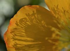 Iceland Poppy (rlt64) Tags: flowers yellow shadows