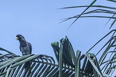 TURAC0 (Ezio Donati is ) Tags: uccelli birds animali animals natura nature alberi trees palma palms cielo sky westafrica costadavorio abidjan