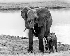 Brothers (ravalli1) Tags: elephants young africa zimbabwe hwange nationalpark wildlife travel somalisa kennedyvlei blackandwhite photography nikon