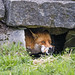 Fox in the hole