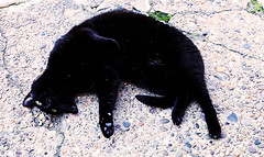 Gunner from Philly (kirstiecat) Tags: cat feline kitty philly philadelphia cobblestones blackcat gato gatonegro chatnoir katze meow caturday furry animal
