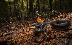 Black Racer (cre8foru2009) Tags: blackracer coluberconstrictor snake reptile herping habitat autumn nature