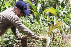 _O2A9976 (JauaMiranda) Tags: siembra chávez maíz caracas cosecha