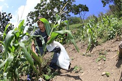 _O2A9906 (JauaMiranda) Tags: siembra chávez maíz caracas cosecha