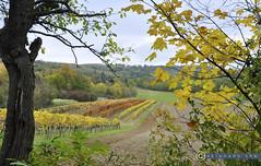 Niederösterreich Weinviertel Enzersfeld_DSC1355 (reinhard_srb) Tags: niederösterreich weinviertel enzersfeld weingarten herbst farbenspiel weinstock rebe gelb reihe weinbau