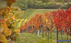 Niederösterreich Weinviertel Enzersfeld_DSC1347A (reinhard_srb) Tags: niederösterreich weinviertel enzersfeld weingarten herbst farbenspiel weinstock rebe gelb reihe wein