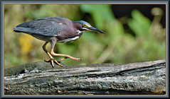 Some fancy footwork (WanaM3) Tags: wanam3 nikon d7100 nikond7100 texas pasadena clearlakecity horsepenbayou bayou outdoors nature wildlife canoeing paddling animal bird heron greenheron greenie butoridesvirescens