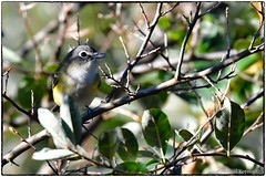 Blue Headed Vireo (RKop) Tags: raphaelkopanphotography nikon d500 600mmf4evr 14xtciii eastforklake cincinnati ohio