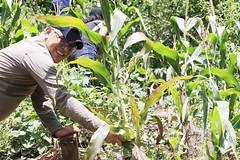 _O2A9973 (JauaMiranda) Tags: siembra chávez maíz caracas cosecha